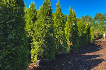 Emerald Green Arborvitaes