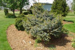 Dwarf Tiger Tail Spruce