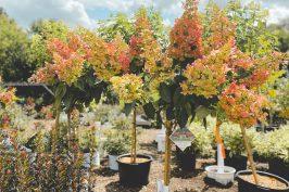 Quickfire Hydrangea Treeform