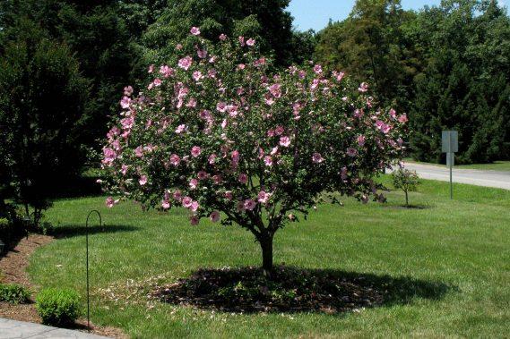 Rose of Sharon Treeforms (Many Varieties)
